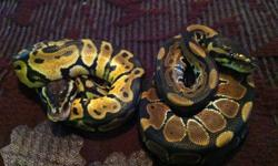 2 Male pastel ball pythons for sale, both feeding on live fuzzy mice. Mother is a pastel and was bred to both a pastel male and an albino male. It is impossible to tell who the father was so these boys could possiby be het for albino but i cant guarantee