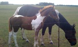2011 colt by son of Excalibur (Canadian Warmblood) out of an A circuit hunter mare. Very easy going, easy to handle, imprinted and halter broke. Stands for farrier. Asking $2500.00 open to offers   second picture is of dam, third of Grandsire Excalibur