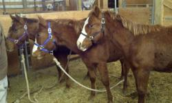 4 Great Registered AQHA Weanlings: All 4 have a nice quiet minds, nice conformations. They should excel in any discipline. They all have been halter broke and de wormed and will be continued to be played with. They are all bred well, names likes Colonel