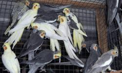 Specialty Breeder offers 20 birds for sale at discount prices.  Thinning out avairy. These birds are for breeding, not hand tame, Price depends on age color etc.  Have pieds, pearls, white face, fallow, latino, and Latino Whiteface. Also have this years