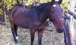 Willy is a 26 year old bay Standardbred gelding that stands at about 15.2 hands. He is very experienced and is an awesome horse for beginners. Willy has recently been retired but was used in summer camp group lessons at the walk and jog. He also does well