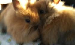 2 lionhead bunnies for sale 6 months old, very friendly, don't bite. Price 100 OBO comes with everything you need, cage, water bottle, hay, little cabin, litter box and litter. I'm moving to residence in university an can no longer take care of them. You