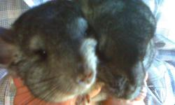 Two adorable chinchilla babies for sale! They are friendly and love to cuddle. Their genders are unknown but they are being sold as pets. They are great pets for children and have been held since the day they were born. They are about a month old now and
