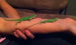 I have 2 anoles (I believe they are male and female) that my daughter bought from a friend without my permission that we cannot keep. They are sort of hand tamed and have never bitten (they just sit on your hand for hours if you let them) They will come