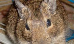 I have 2 Baby Degu's for sale,reason for having to get rid of them,is because I just moved into a new place and am not allowed to have them,so just wanna find then a good & loving home..but id like to start off with saying,if you happen to have interest