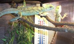 2 basilisk lizards with 2 terrariums,5 gal tank,cage decor,vitamin suplements,lighting and fixtures,and a cricket keeper,theese lizards are great pets,due to my locatation it is hard to get food for them.must go to a good home