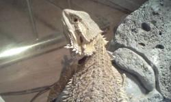 Sellin 2 bearded dragons n setup 500 obo