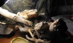 Male & Female Bearded Dragons. Both are approx 2 yrs old & in great health. Also both are very friendly.  Price: 75.00 obo