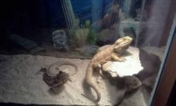 We are moving out of province and have to sell our 2 bearded dragons.  Maurice (the Sandfire) is the male - he's the one on the rock in the picture, he's almost 4 years old.  Rosie is the female and she's 3 years old.  She's had 1 clutch of 14 eggs