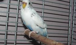 pair MUST go together White budgie and green*they are 30$   the white one was born may 4th the green was born in january   werent handled much, want them to go to loving homes I hate to part with them but i have too many birds due to constant breeding and
