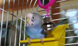 Mated Pair of Beautiful blue/green budgies with cage, toys, food and extra cage