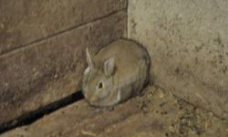 these bunnies are 2 months old. very healthy. their mom is a hotot rabbit and their dad is a duth rabbit. asking $5.00