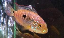 2 ciclids for sale jewel ciclid and a green severum cichlid both south American variety $10 each 717-8383 This ad was posted with the Kijiji Classifieds app.