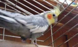 Moving must sell our 2 birds, must go together. They have never been mated, they are in separate cages, but are best buds. Comes with both cages, food, etc. Female was hand raised as a baby. Male can have attitude, but loves to have his head rubbed, he