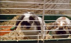 2 dwarf lop eared bunnies, about 6 months old. The brown/white one is male, the grey/white one is female (brother and sister). Come with a large cage, water bottle, dishes, and an almost full bag of pellets. reason for selling: we have a new baby in the