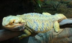 I have 2 bearded dragons for sale one a sub adult and one thats an adult. Both very nice in color always showing there true coloring. Both very healthy downsizing a bit in dragons need the money.   1. Citrus lavender female 1.3yrs old $120.00 picure is