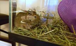 2 female degus, only a few months old. They make awesome little pets, children would love them. They each have their own vibrant personalities and are very social. Very funny and entertaining animals to watch. Reason for selling is I do not spend enough