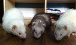 I have two ferrets: Luna - 3.5 all white Maggie - 2.5 all white with a little grey on tail ( when she was little she was sable - almost all black ) They are mates and can NOT be separated - If they separate they will become depressed and lose their fur,