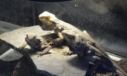 """We have 3 healthy bearded dragons for sale with their tank and accessories. Female #1: Is 2 years old, and about 16"""" long. Female #2: Is 3 years old and is also 16 - 17"""" long. When under the light her colours really show. On her back she has lovely blues"""