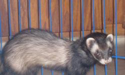 Hi, I have for sale 2 ferrets, boy (Bruiser/white) and girl (Jezabelle/black) both fixed and descented, both are 1.5 yrs old. Very good with kids and other pets. To go with them, I have their 5 foot cage, they are currently only in the bottom half, water