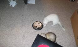 I have 2 female ferrets one is 2 years old and the other is about 6 months old, I love them but I have a 2 month old and I dont have the time to spend with them as much, they are cat and kid friendly, litter trained cage will go with them and food and