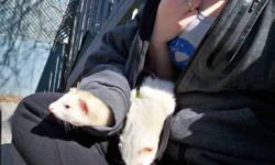 It breaks my heart to have to do this, but I have to sell both my ferrets. Both are males fixed and descented. Panda is about a year old, and bubbles is about 4 years. They come with tones of stuff, and a cage! Worth more then 300$ ... and 250 for each