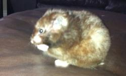 We have 2 very cute Syrian hamsters for a good home. They are friendly and hand-tame; we have a 2 year old who always takes them out of their crates and they've never bitten anyone.   Both hamsters are young females. Cinder (the black one) is larger and