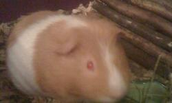 I have two 9 month old male guinea pigs who need a good home. I don't have the time right now to give them the social time they need. A home with kids is preffered. They must go separately unless you get a large rabbit cage, like the one in one of the