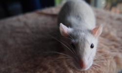 I have two male rats born on August 10th. I have another ad on here for them & their sisters. In this ad I am including a new cage (just bought about 2 months ago) along with my two handsome boys :) The cage has removable levels so you can adjust the