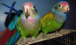 One boy and one girl left for sale.  These birds  are similar to amazons only not as loud and a bit smaller.  The colour gets brighter after they mature.  Handfed and tame.  Ready soon for good homes.  This is a nice size of parrot for someone that is