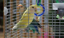 "2 beautiful love birds ""Pixie and Dixie"" Cage included $100.00 for the pair or give us an offer."