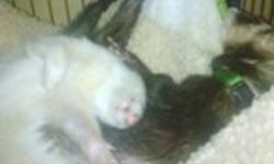 ***REDUCED*** I have 2 very loveable ferrets In need of a good home ASAP! One is a male 4yrs and one female 2yrs both fixed, descended and tattooed They both come with a ferret nation cage (3 story one), toys (a lot) hammocks one is a ship. ferret