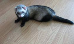 I have two loveable and playful ferrets for sale.  They have been cared for very much and make a great addition to your family and home.  They do not bite at all, taken care of and loved very much.  They are handled daily and use to being out of their