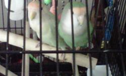 Two lovebirds for sale. Comes with Cage, toys, and little bit of food. No longer have time for them. Male and female. Have laid eggs a couple times, but have not hatched.