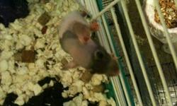 I have 2 brothers, dumbo hairless pet rats that need a good home! Their mother had a litter approx 6 weeks ago and have sold all the others except these two guys. They were handled as babies, so they are very friendly and playful already! They have some