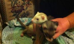 two male ferrets named Bucky and Charles in dire need of new home . they are friendly, playful and have never bitten. can teach you every thing you need to know to keep them clean, healthy and there odor minimal there litter trained and extremely lovable