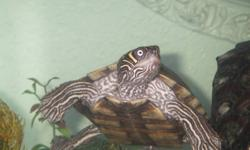 """I have two map turtles, one male and one female, for sale (Approx. 7"""" round shell). im asking $200 or best offer. The turles come with a 30 gallon tank, filter,  heater, heat lamps, rocks and other accessories. Also included is a plecostomus.  They are"""