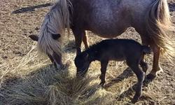 "Norman can be papered AMHA $700.00 born June 15,2011 will be a grey or buckskin will make an downsizer for you mares. Is halter broke and kids handle him ,you can touch all over and lift feet.     ""Situation"" buckskin colt born aug 2011. very gentle"