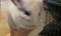 We have a female & male white mosaic chinchillas and their set of twins needing a new home. Comes with 2 very large cages and everything they need. Well over 800.00 dollars. Just don't have the time for them since daughter moved away to college. Please