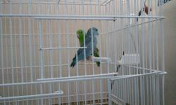 FOR SALE.   2 pair of pacific parrotlets.   One pair the male is green and the female is blue. The other pair the male is yellow with kind of dilute wings, the female is yellow. they are not hand tame, they are about 4 years old,   Sorry the Yellow's are