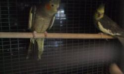 i have 2 pairs of grey cockatiels for sale price is 80.00 per pair age is about 3 years old