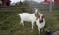 Offering for sale 2 registered percentage boer does. Both 3 years old and are big healthy does ready to breed for 2012 kids, asking $300 for the 50% doe and $400 for the higher percentage doe. Also offering a beautiful purebred Nubian doe, 2 years old.