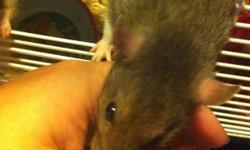 I have two mom/daughter female rats and two brother males. The girls are a little shy and they are very playful. The boys love attention and are very affectionate. I also have a 3 level cage for sale with one set. The boys are darker than the girls. Also