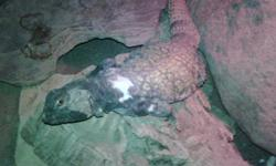 2 Uromastyx lizards   Both are 3 years old, in perfect health and come with everything in their living atrarium. Light is also included.   Very friendly, both love people and being handled.   Sadly no time for them.   $250 OBO   Please e-mail for more