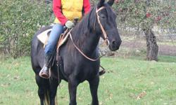 Legacy is a Beautiful Black mare with a white blaze. Born in 2002, she stands 15.3hh and has a strong, correct conformation. She is ridden either English or western and neck reins. Legacy will lower her head and open her mouth for the bit and bridle. She