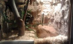 She is very healthy and never turns down a meal. She is very friendly and loves to be handled. She comes with a custom built terrarium with lights and hides. I will not sell her or the terrarium seperately, they are a package deal. I built the terrarium