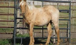 """Gator"" (Quincys Three Storm) is a well built, athletic and nice moving filly. She is halter broke and tie broke. She is a grandaughter of Blueboy Quincy on bottom and goes back to Two Eyed Jack and Northern Te on the top side.   Check out Bar S Quarter"