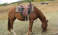 2 year old 13.3hh and still growing she is very friendly and great around kids halter broke lightly started under saddle  she comes from the field when called easy to halter or will just follow you everywhere without halter,  learns quickly hasn't bucked,