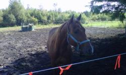 Hi there Beau is a very good quality horse aproaching 15 hands and has a beautiful Quarter horse Build.  Pretty head, great feet, and an unbelievable tail! The pics I have posted do not do this guy justice as they were taken on a cell and he has filled