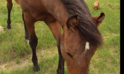 I have a 2 yr old registered solid bay paint by the name of Just Enuff Whiskey. He can be found on all breed pedigree. Selling because he is approximately 16hh and hes continually growing. I was going to turn him into a barrel horse due to his proven